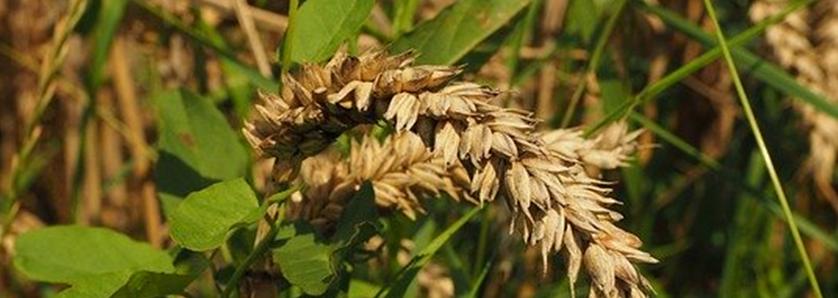 Weizen und Unkraut